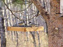 Chickadees, taken Nov 5, 2006