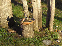Purple Finch pair and a Fox Sparrow, taken October 14, 2006