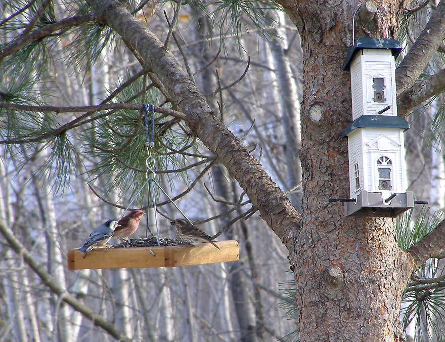 Purple Finches and a Nuthatch, 10/15/2006