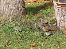 White-throated Sparrow and Juncos, 10/9/2006