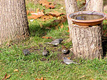 a Junco group and a White-throated Sparrow, 10/9/2006