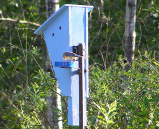 Male Bluebird,June 5, 2007