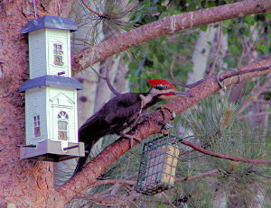 Pileated male feeding his brood, 5/31/2007