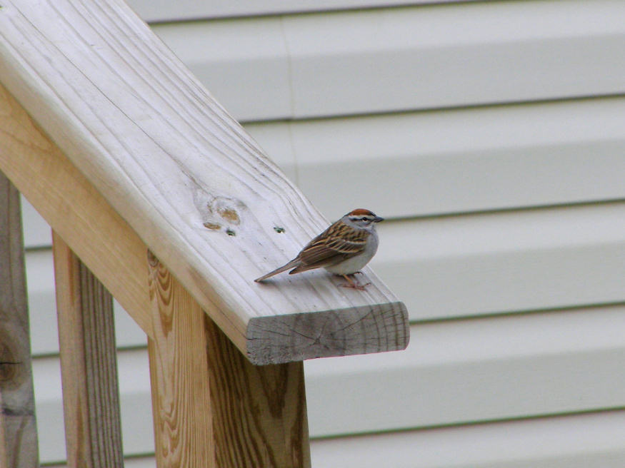 Chipping Sparrow on the rail
