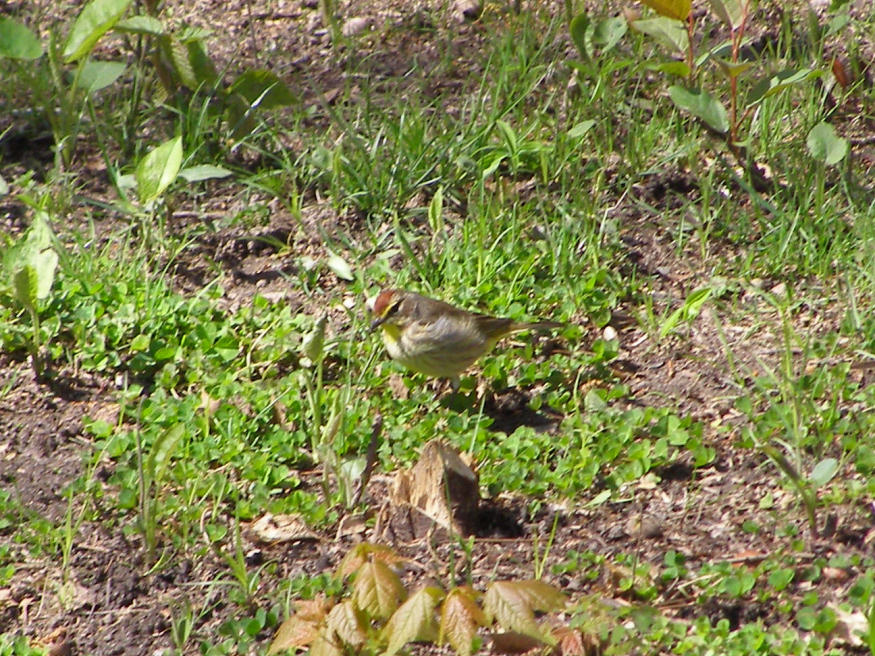 Palm Warbler in our backyard