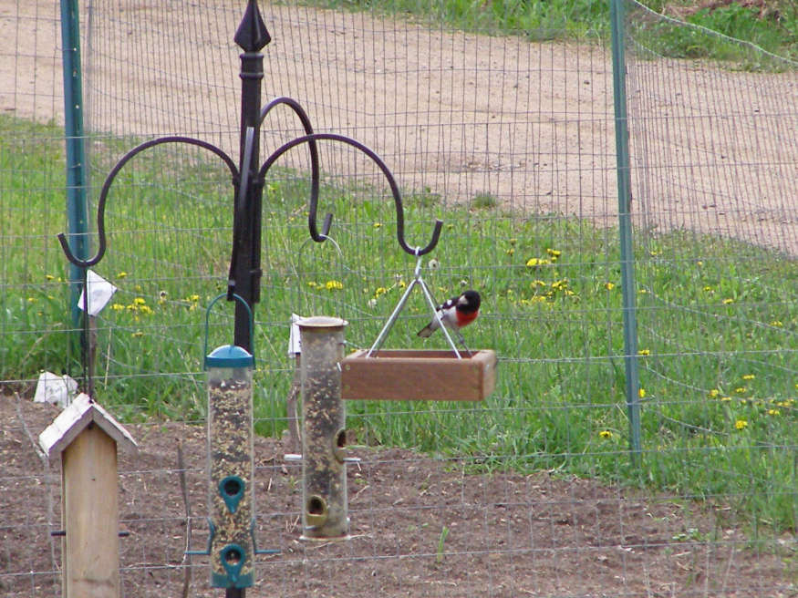 our first Grosbeak