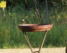 chipping sparrow on the birdbath