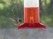 hummingbird at our window feeder