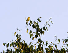 yellow warbler june 28 2006