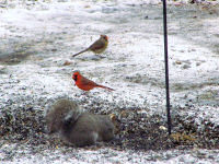 cardinals-with-a-squirrel.jpg