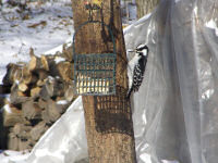 hairy-woodpecker-in-january.jpg
