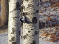 nuthatch-on-the-birch-tree.jpg