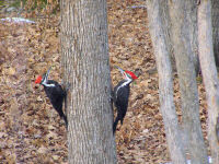 pileated-couple.jpg