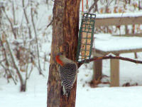 red-bellied-woodpecker.jpg